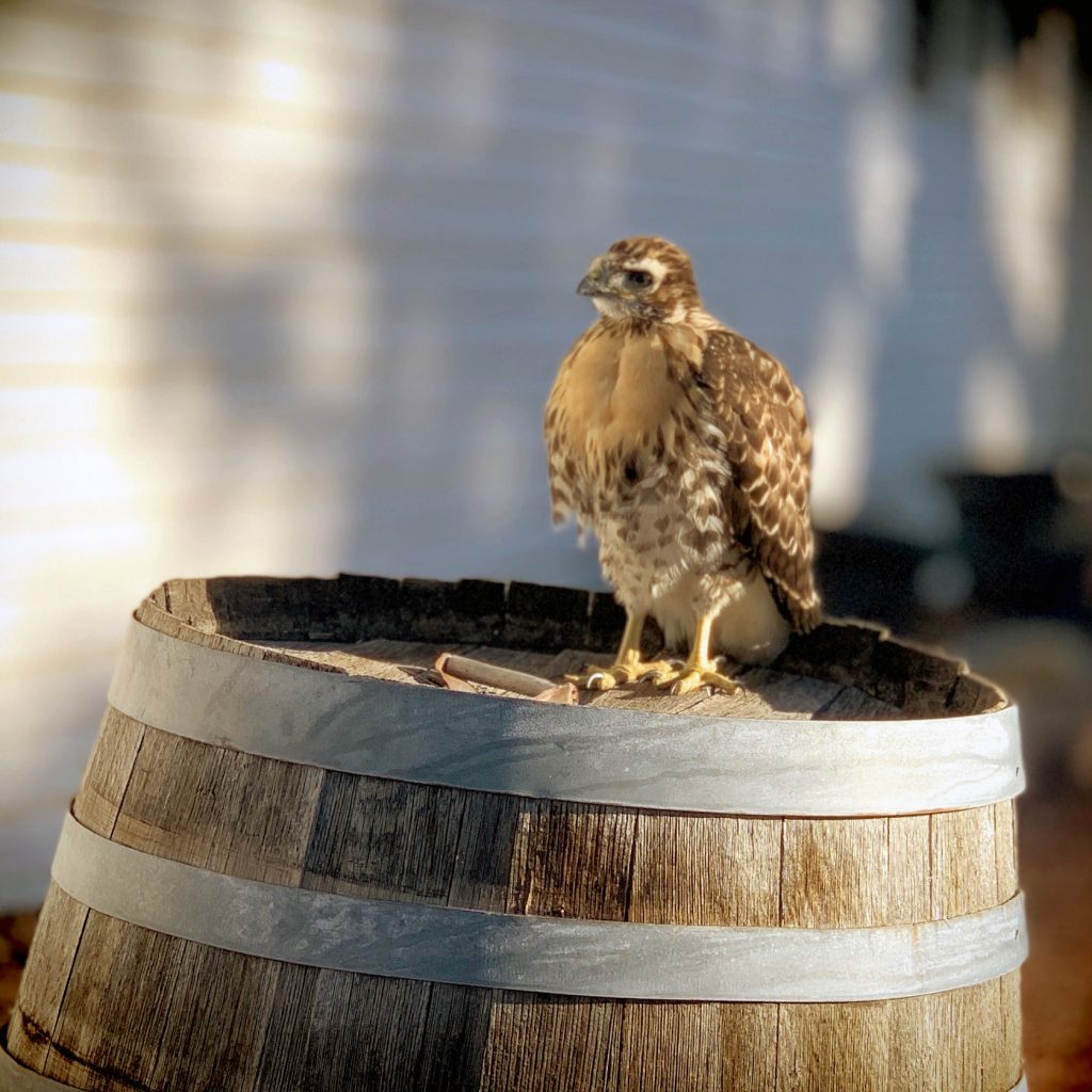 My Kind of Livable: From hawks to eagles; hummingbirds to doves, I always enjoy birdwatching in Cortez. This fledgling hawk enjoys our neighbor's decorative barrel. A family of hawks makes our backyard home every spring.